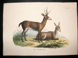 Schinz 1845 Antique Hand Col Print. Marsh Deer 60